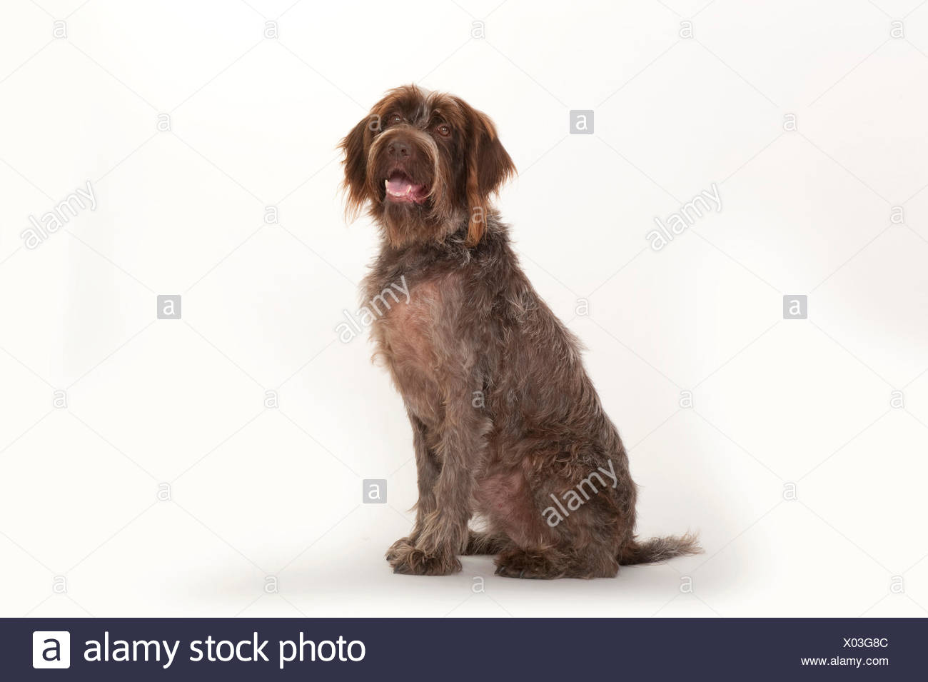 Wirehaired Pointing Griffon Stock Photos & Wirehaired Pointing ...
