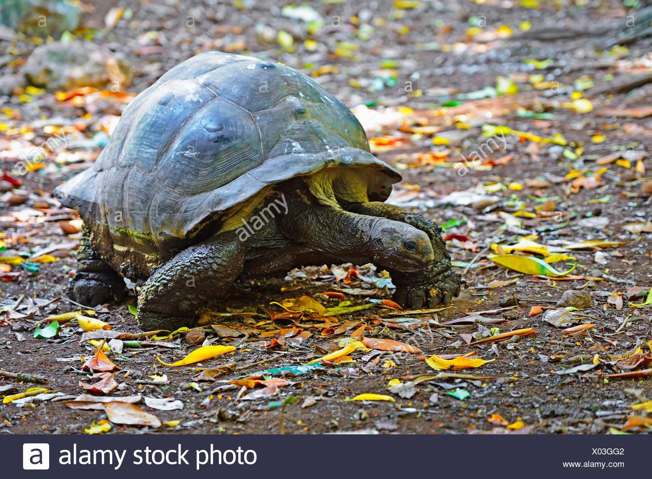 Seychelles giant tortoise, Aldabran giant tortoise, Aldabra giant tortoise (Aldabrachelys gigantea, Testudo gigantea, Geochelone gigantea, Megalochelys gigantea), on the feed, Seychelles, Cousin - Stock Image