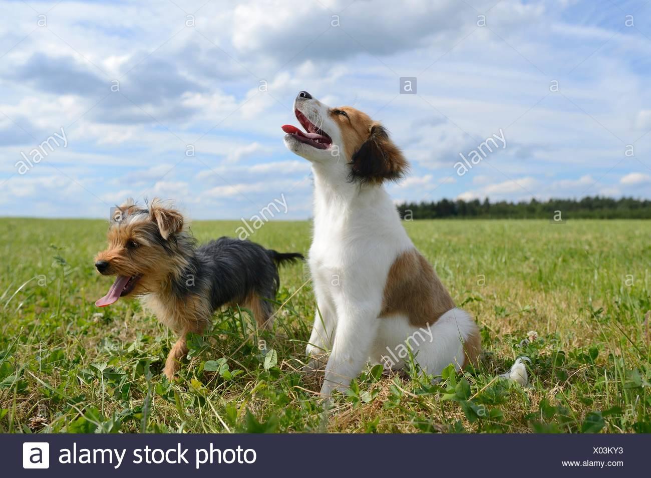 Yorkshire Terrier and Niederlande Kooikerhondje, Upper Palatinate, Germany, Europe - Stock Image