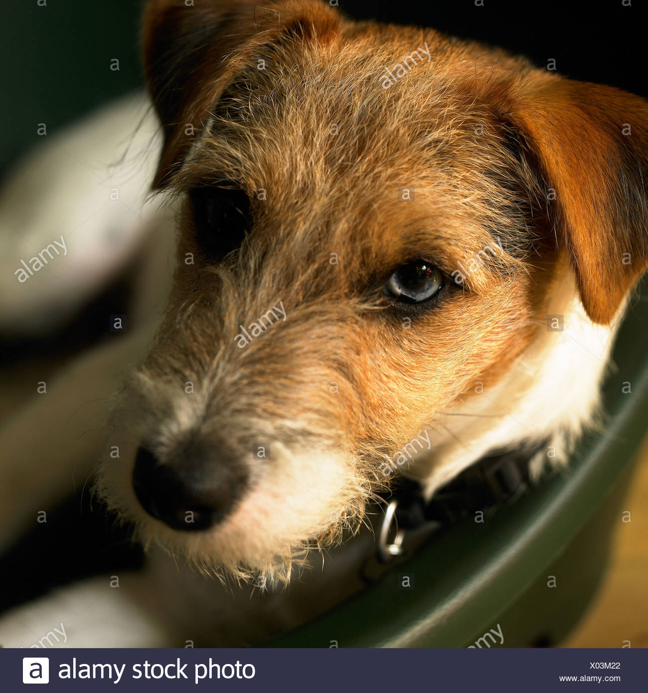 A Parson Russell terrier dog looking to camera - Stock Image