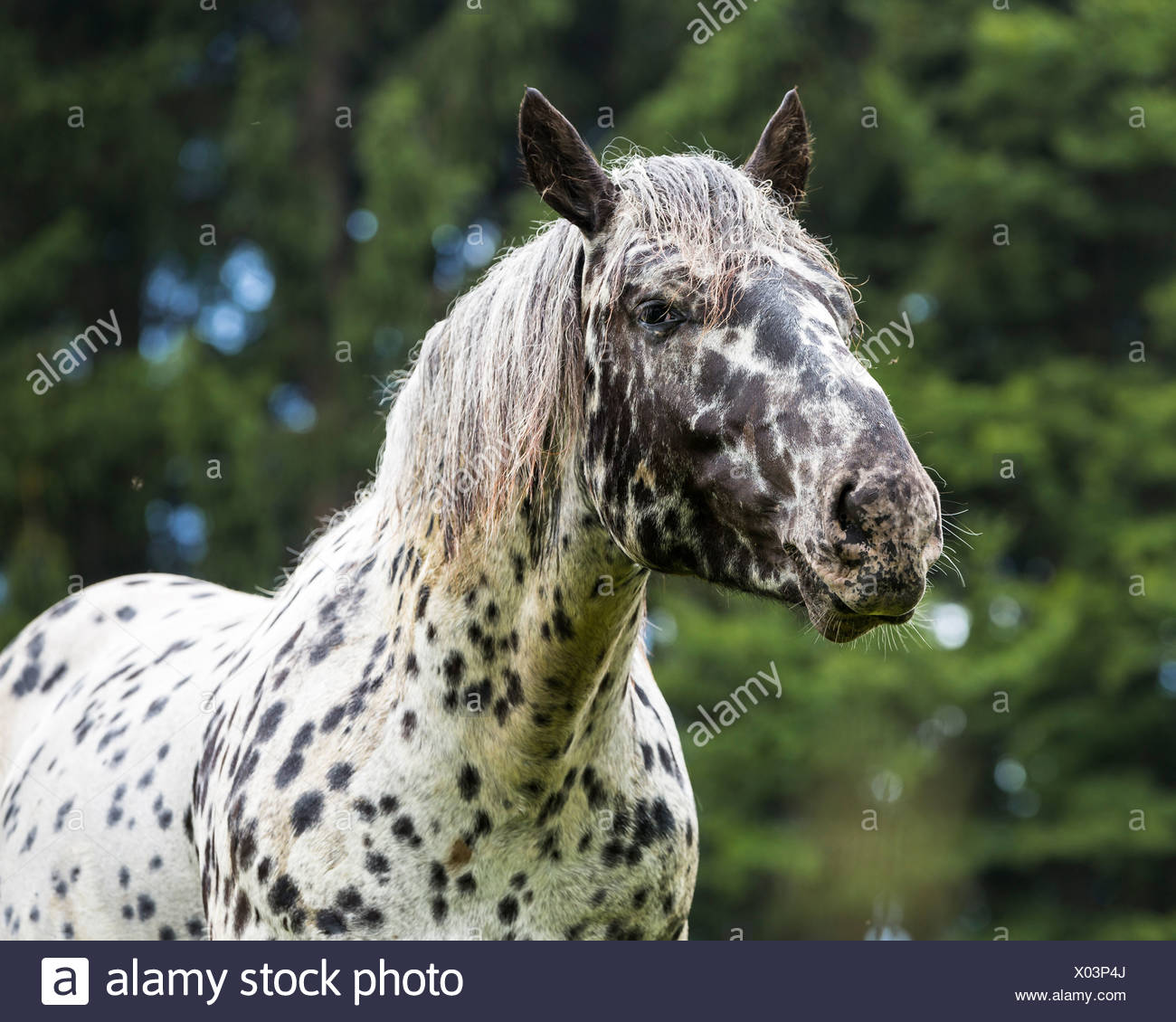 Germany, Horse, Equus, Portait of a gelding, spotted - Stock Image