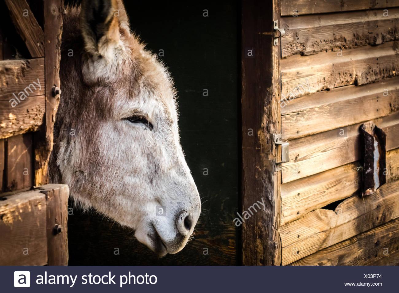 Donkey in a barn Stock Photo