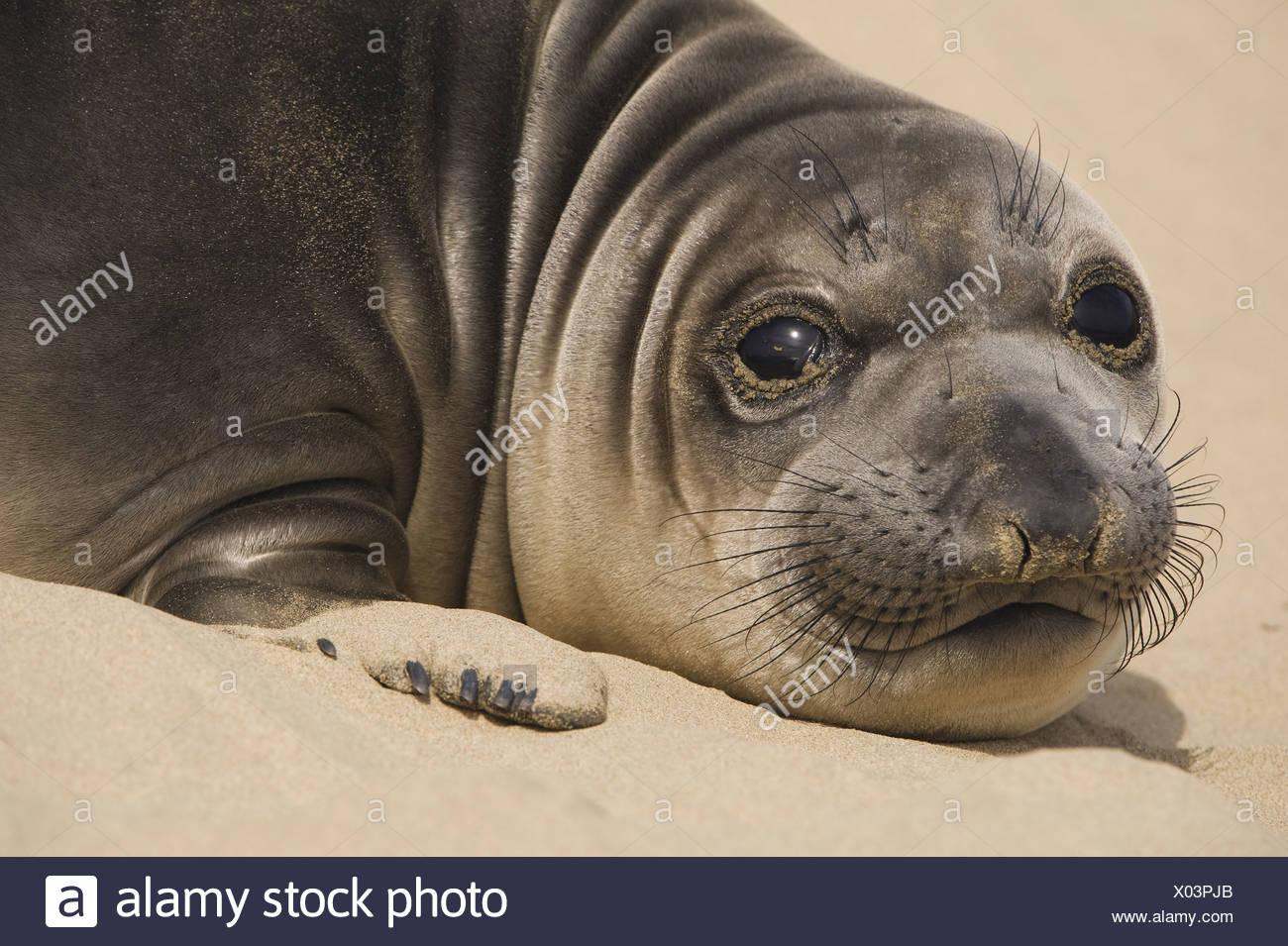 Ano Nuevo State Reserve California USA Northern elephant seal pup Miroungangustirostris - Stock Image