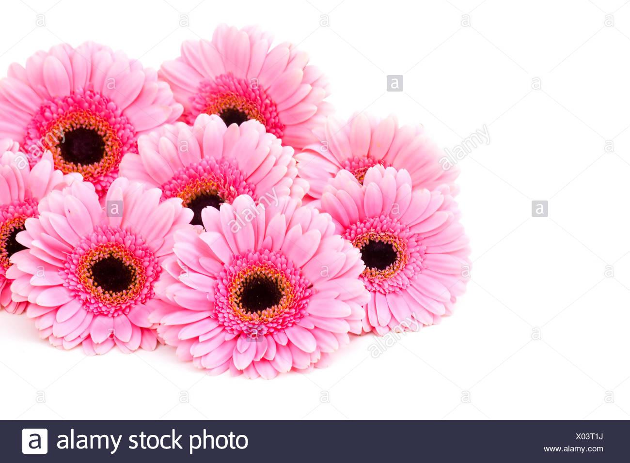 Gerbera Daisy Pink Stock Photos Gerbera Daisy Pink Stock Images