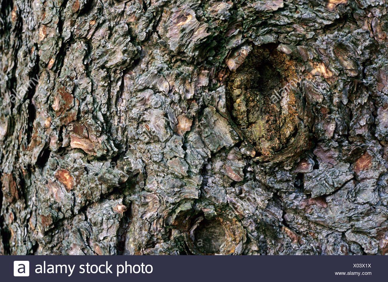 ponderosa pine, western yellow pine, blackjack pine, bull pine (Pinus ponderosa), bark - Stock Image