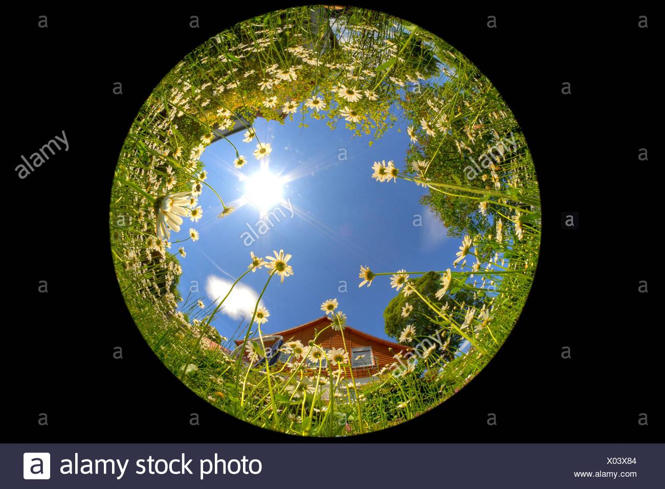 Daisies (Leucanthemum), fisheye lense - Stock Image