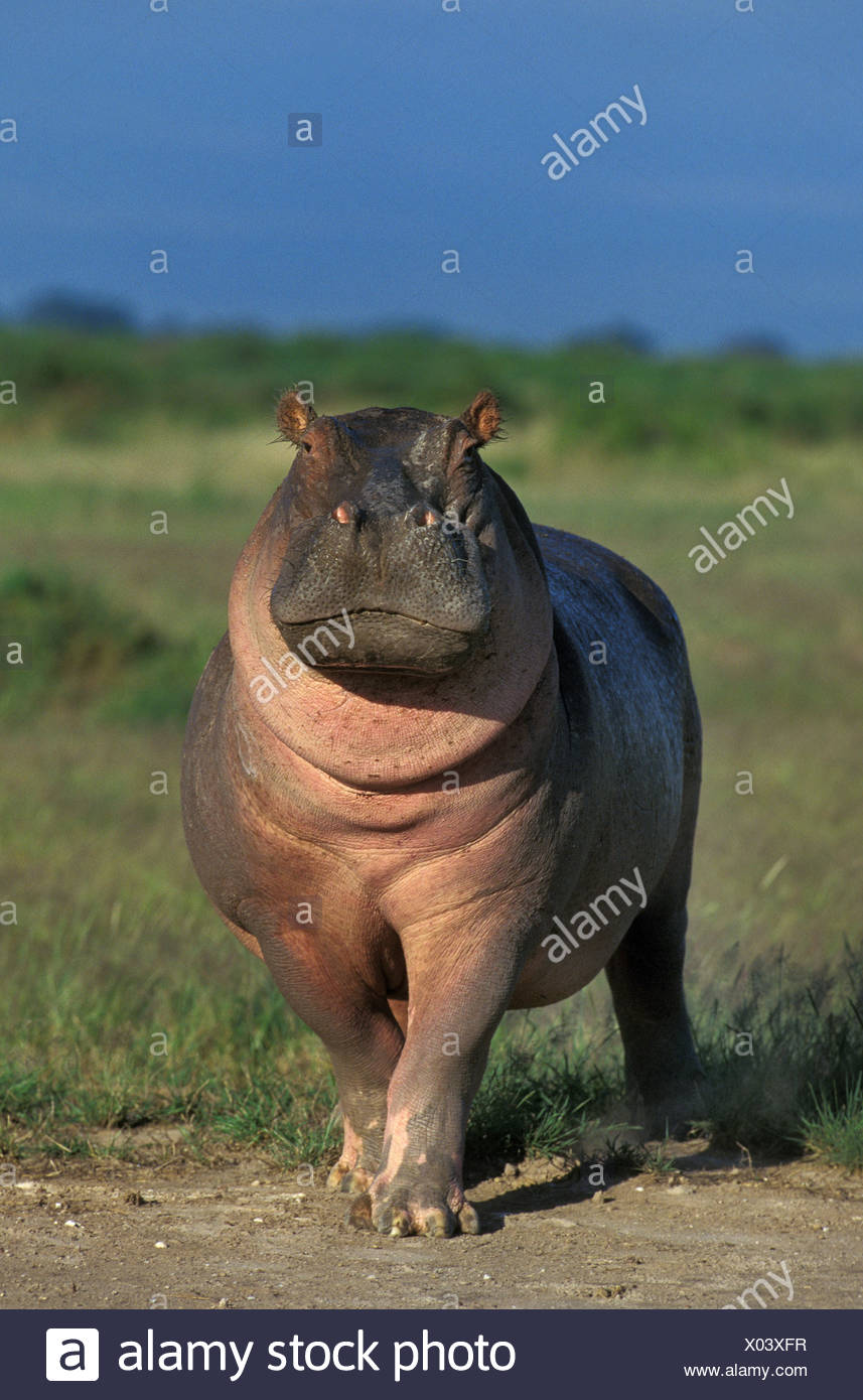 Hippopotamus, hippopotamus amphibius, Masai Mara Park in Kenya - Stock Image