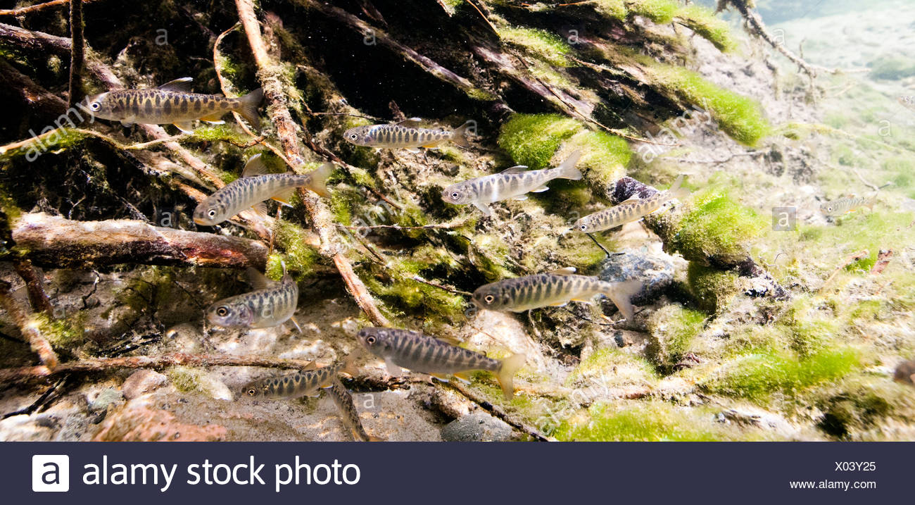Underwater view of Chinook salmon fry rearing in Bernard Creek, Southcentral Alaska, Summer - Stock Image