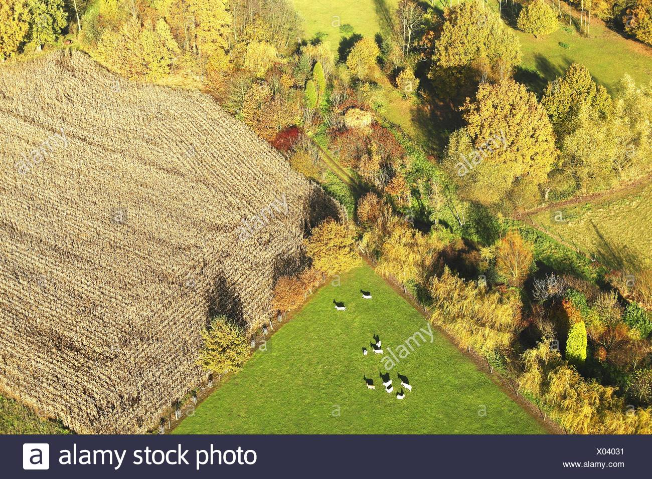 agricultural area with fields, grasslands, hedges and cows from the air in autumn, Belgium - Stock Image