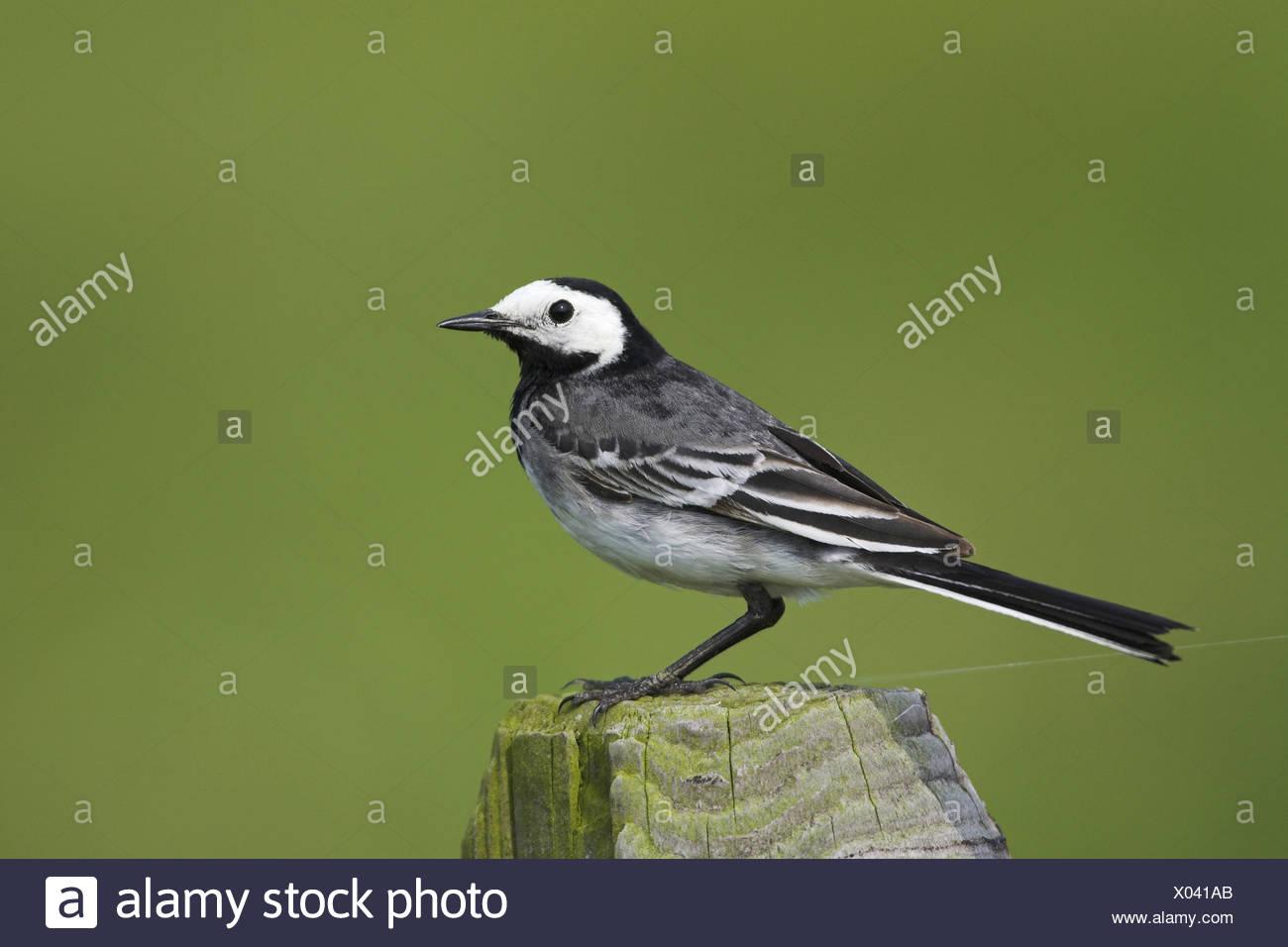 pied wagtail (Motacilla alba), sitting on a pile, Netherlands, Frisia - Stock Image