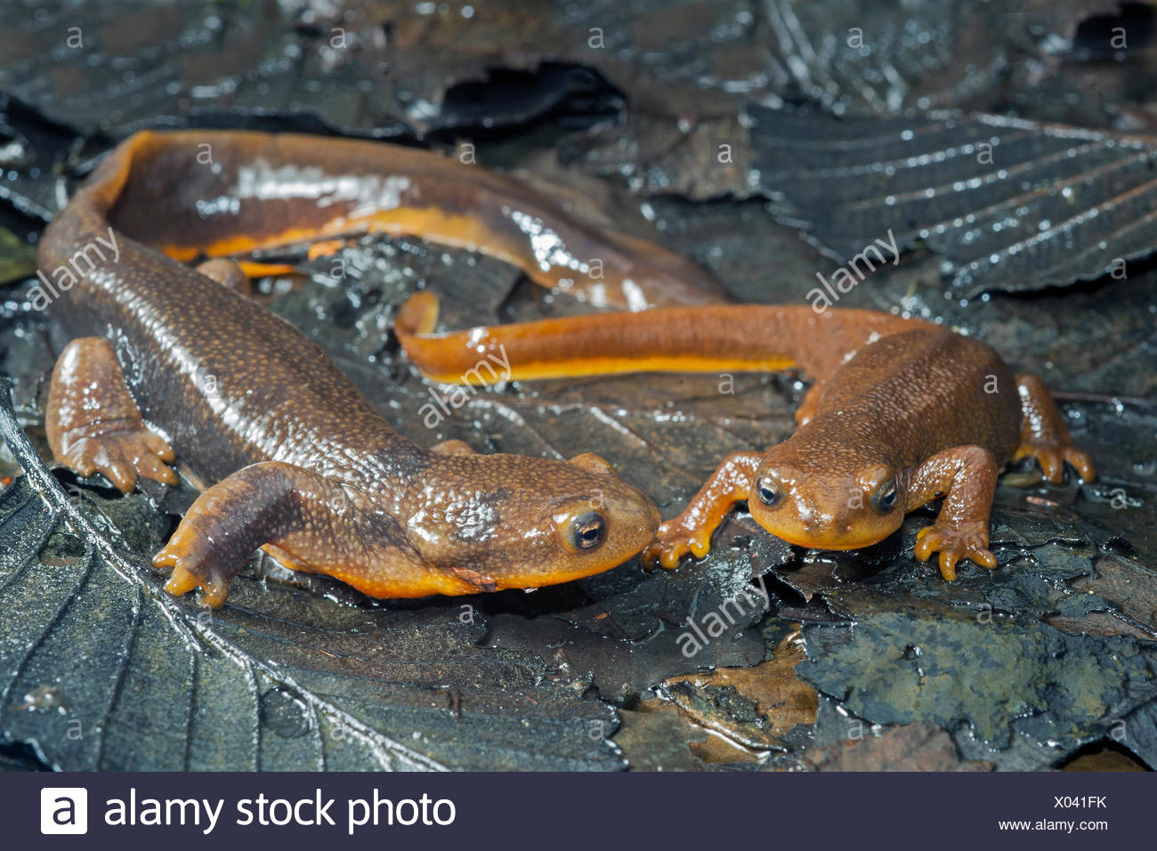 Courting rough-skinned newts (Taricha granulosa), temperate rainforests, central coast British Columbia, Bella Coola, Canada - Stock Image