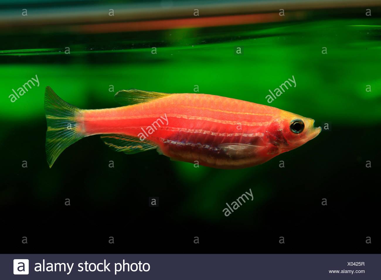 Zebrafish Aquarium Stock Photos & Zebrafish Aquarium Stock Images ...