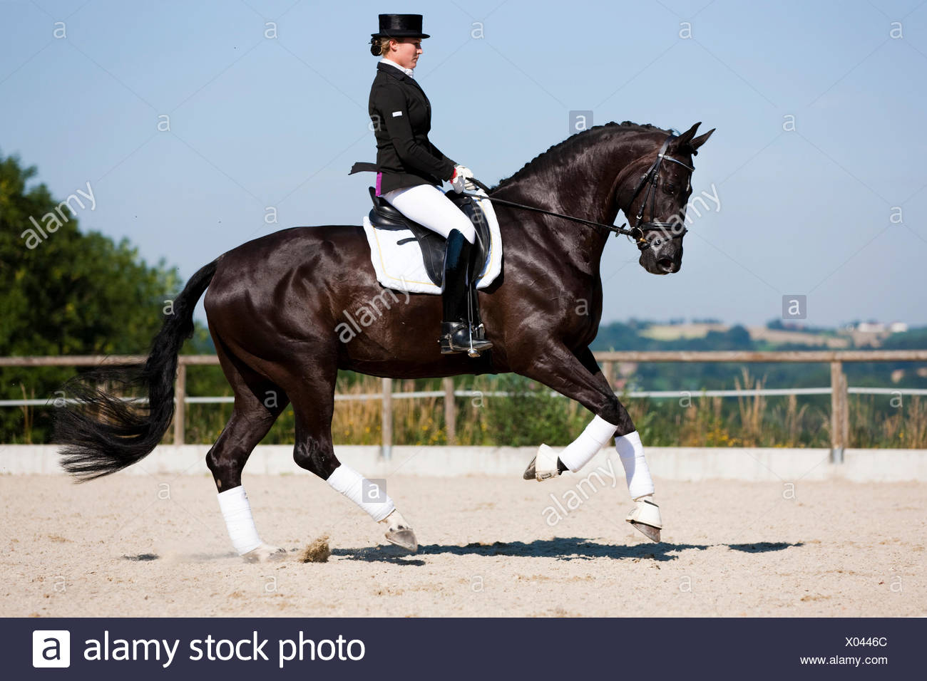 Young Woman In A Formal Riding Dress Riding A Galloping Hanoverian Horse Dressage Black Horse Austria Stock Photo Alamy
