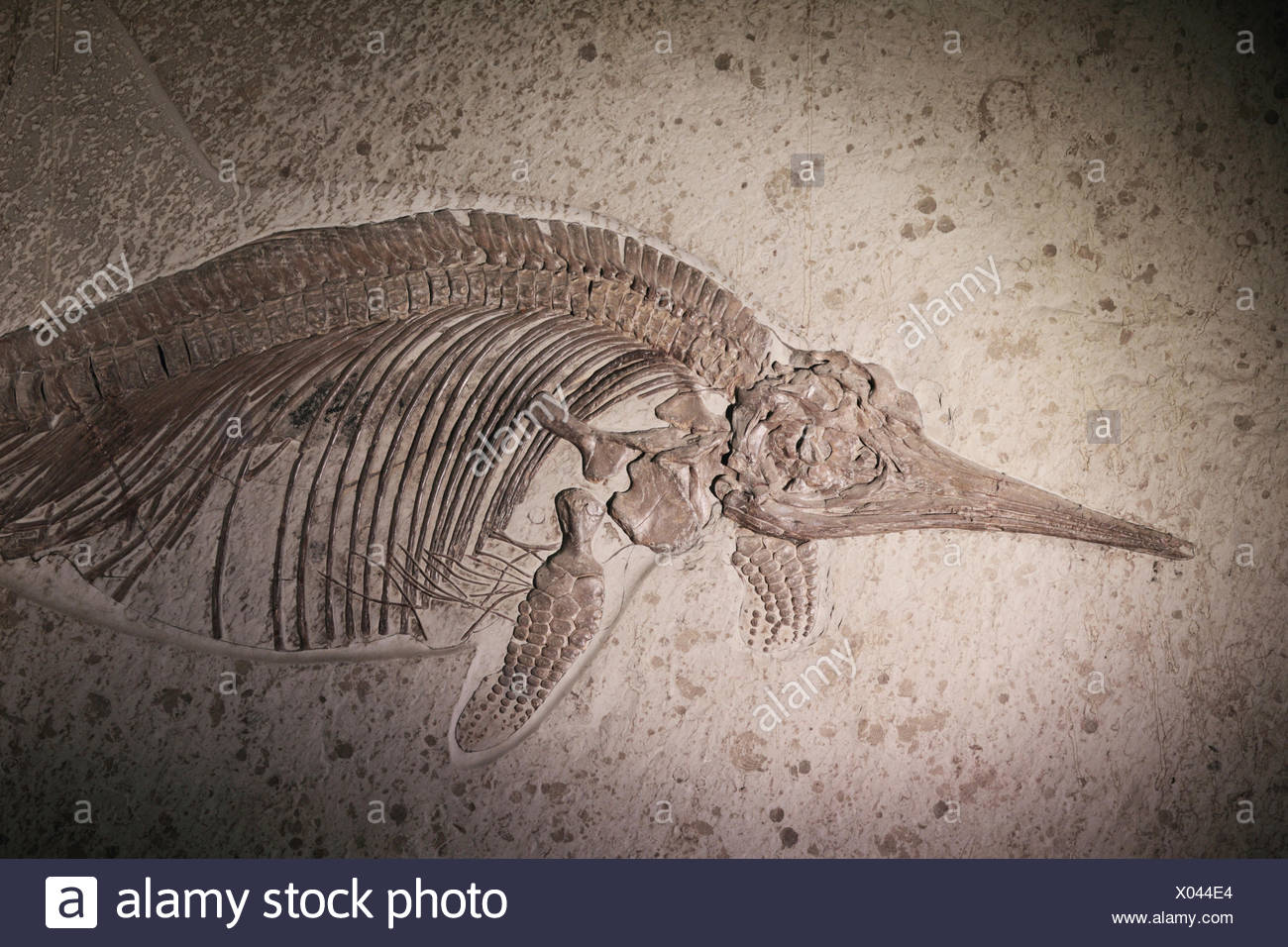 Fossil of Stenopterygius, formerly ichthyosaurus, an extinct genus of thunnosaur ichthyosaur known from Europe. It maximum length was 4 meters. - Stock Image