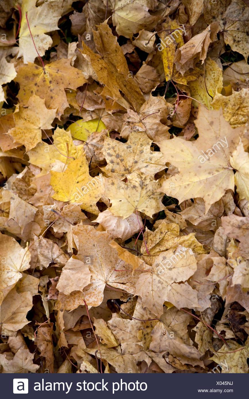 Herbstlaub, Ahornblaetter, bunt, Detail, Blaetter, Ahornlaub, Laub, abgefallen, welk, liegen, durcheinander, Vielfalt, farbig, H - Stock Image