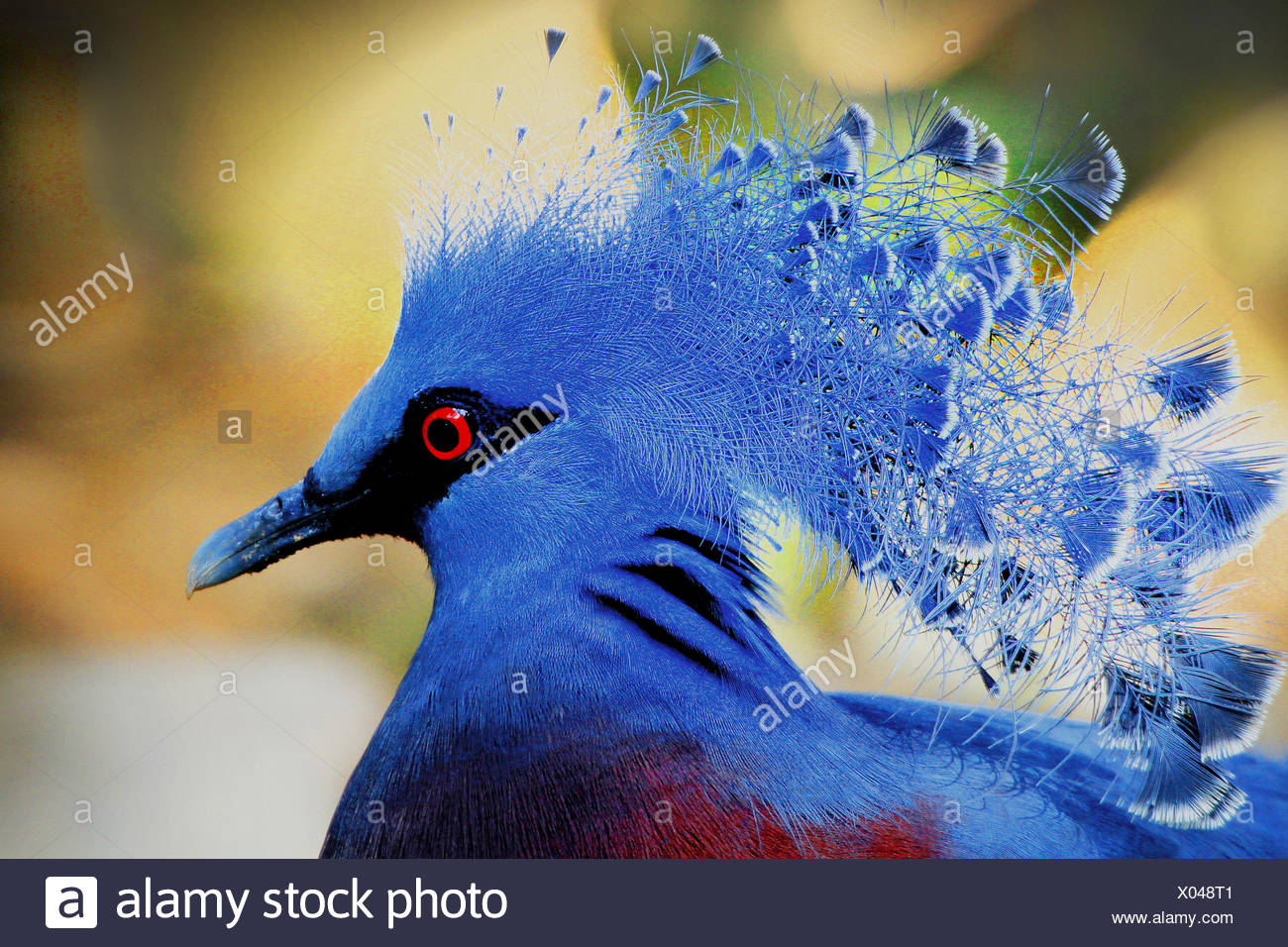 victoria crowned pigeon (Goura victoria), portrait - Stock Image