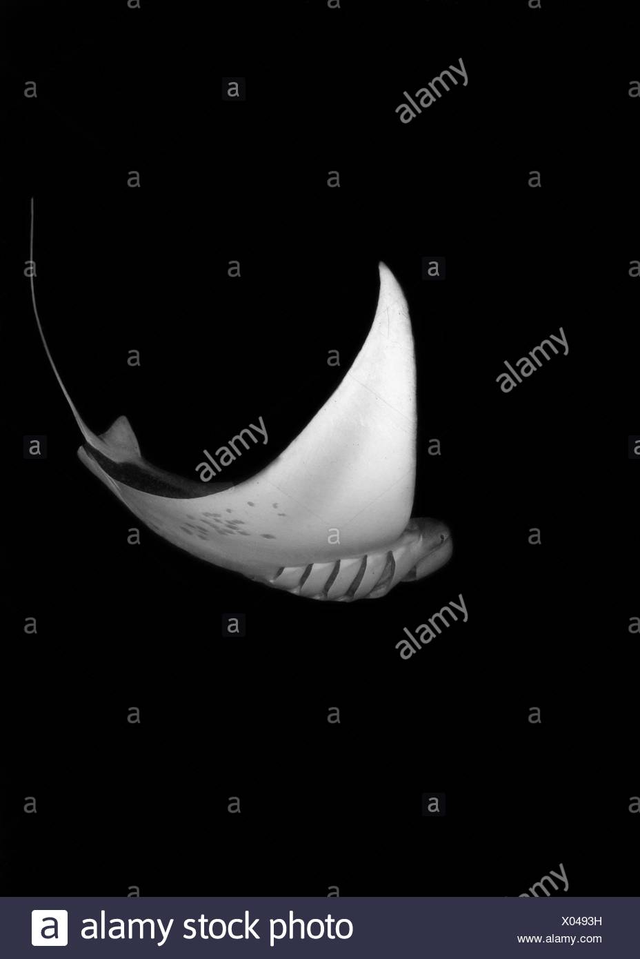 Maldives, Hanifaru Bay, Underwater view of Manta Stock Photo