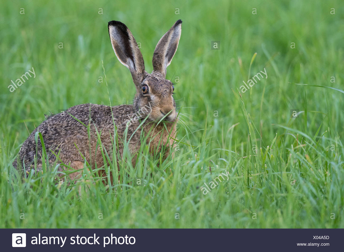 european hare, lepus europaeus - Stock Image