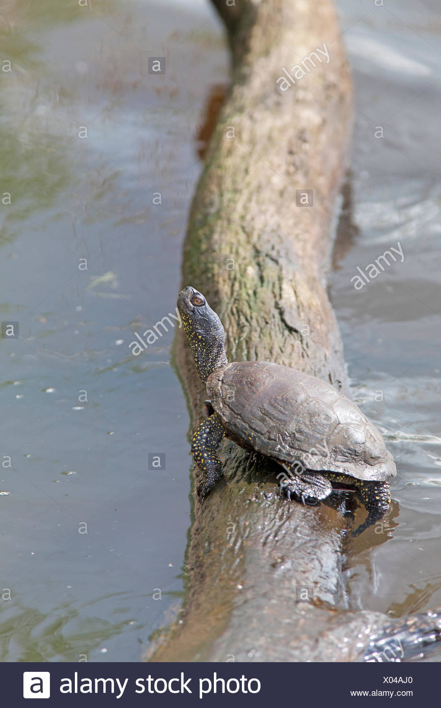 European pond terrapin basking in the sun on tree in the water - Stock Image