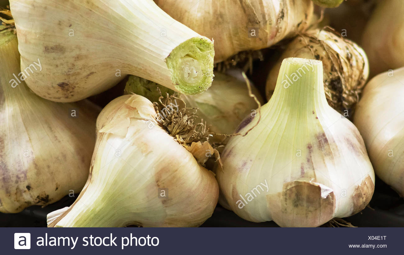 Elephant garlic, Allium ampeloprasum, Close cropped view of garlic bulbs with pale, papery skins and green flushed stalks. - Stock Image