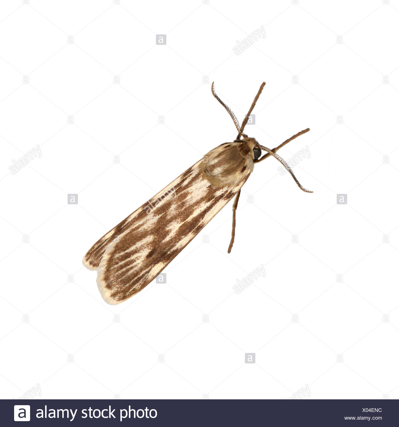 72.032 (2053) Speckled Footman - Coscinia cribraria - Stock Image