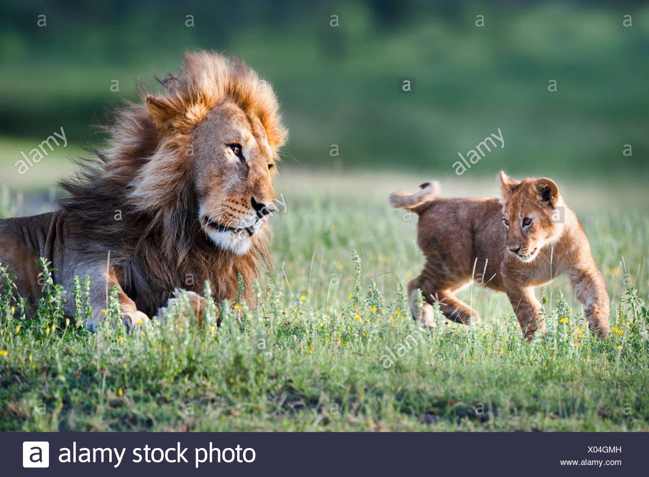 Male African Lion (Panthera leo) playing with 4 month cub. Big Marsh, near Ndutu, Nogorongoro Conservation Area, Serengeti National Park, Tanzania. - Stock Image