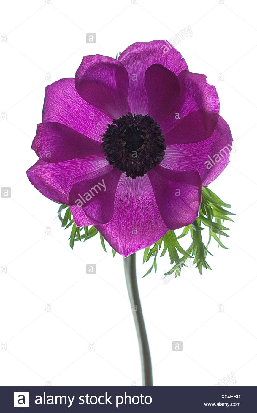 Purple flower subject cut out stock images pictures alamy anemone coronaria single purple flower subject white background stock image mightylinksfo