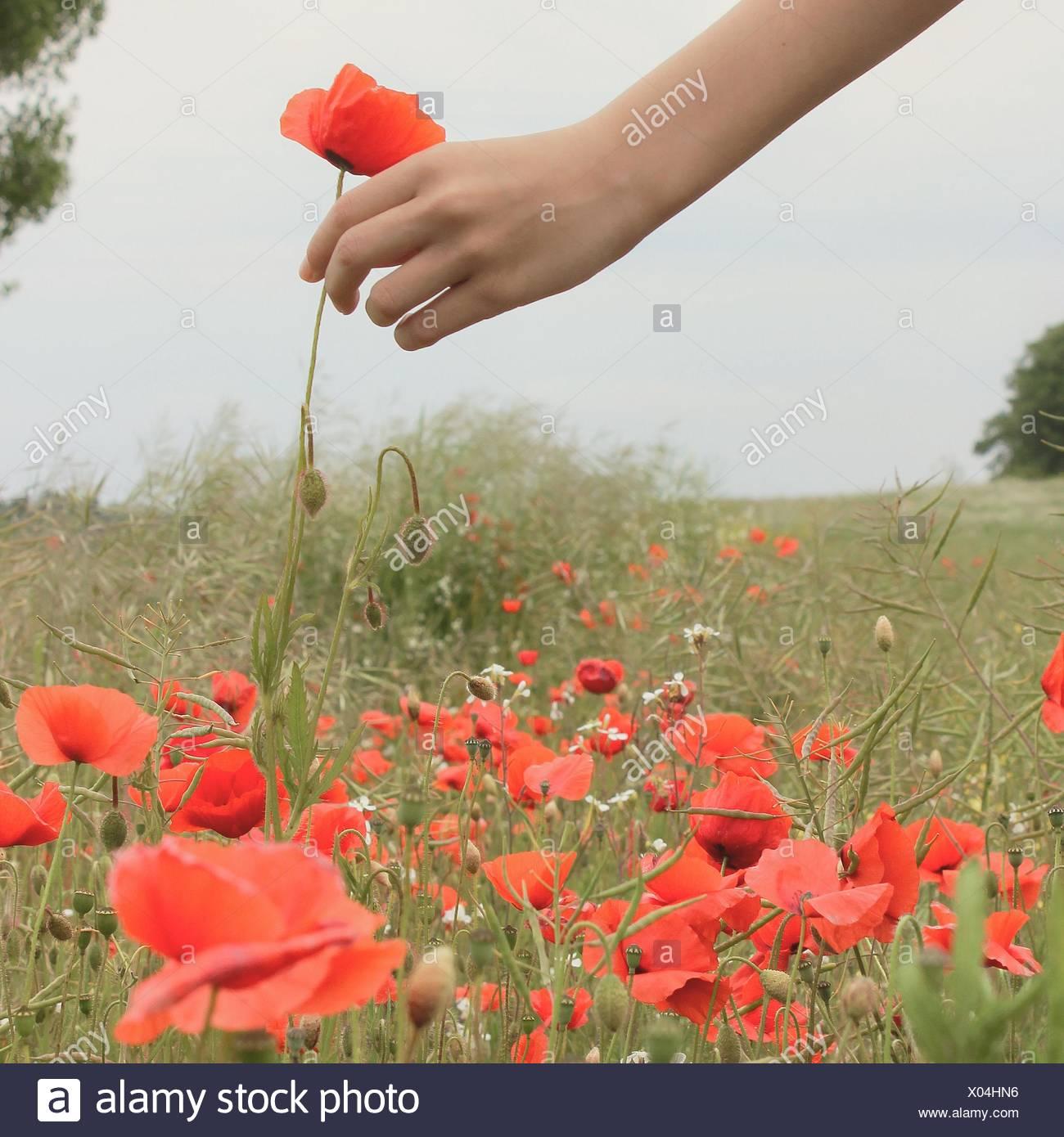 Girl picking poppy flowers - Stock Image