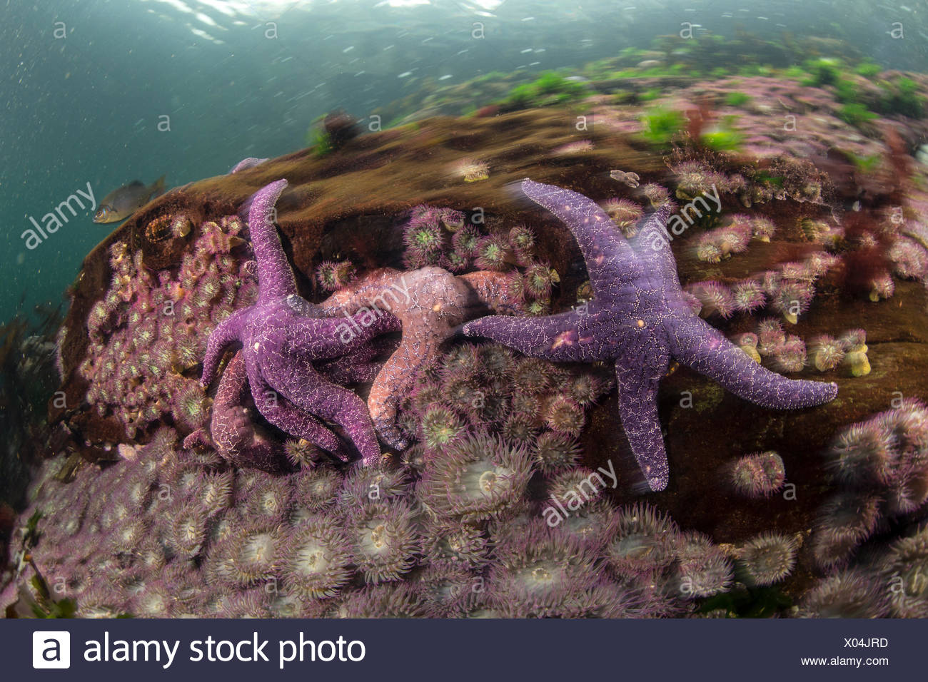 Ochre starfish in waters off the coast of British Columbia. - Stock Image