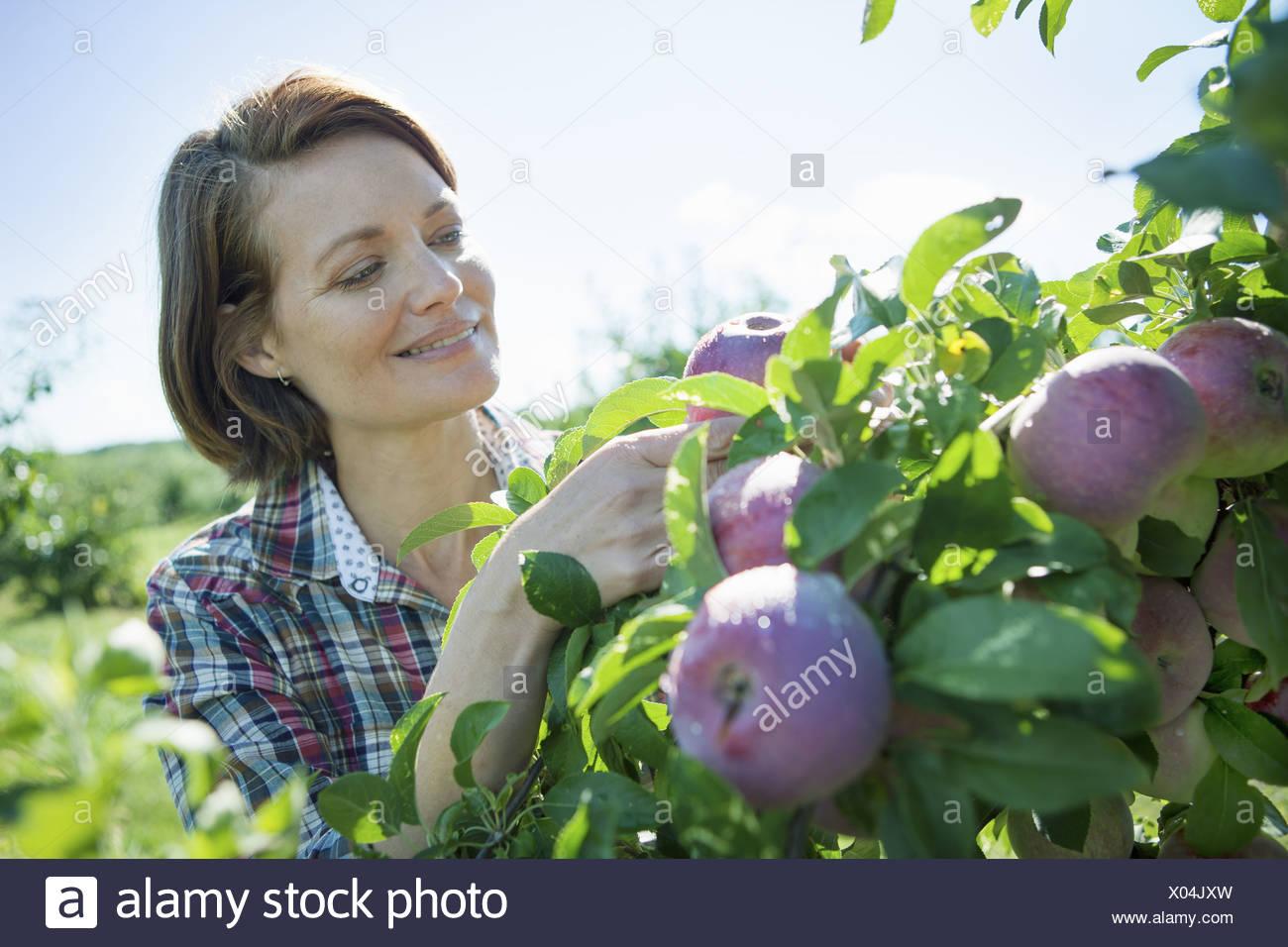 Woodstock New York USA woman in plaid shirt picking apples fruit tree - Stock Image