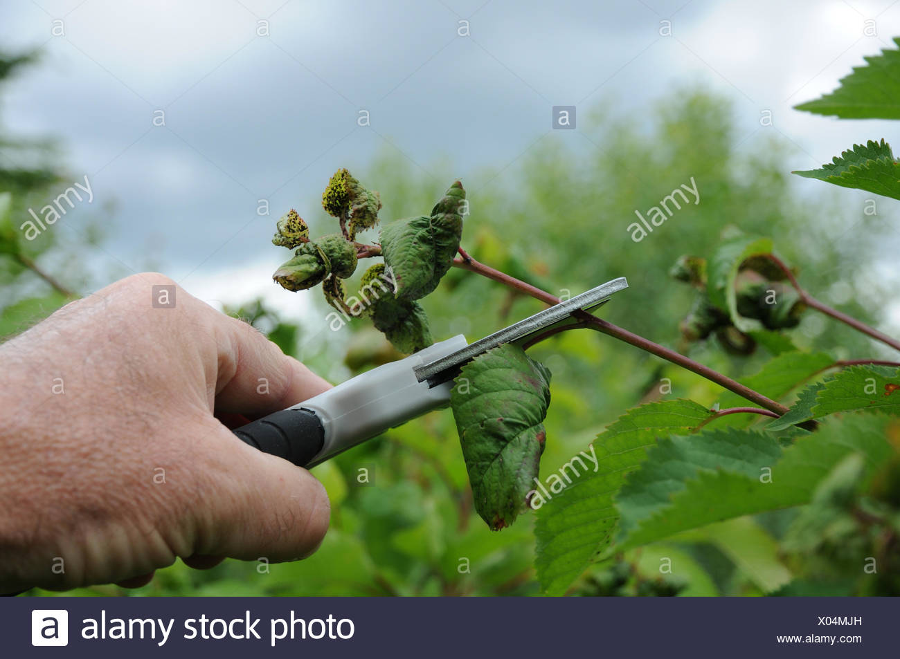 Sweet cherry pruning Stock Photo