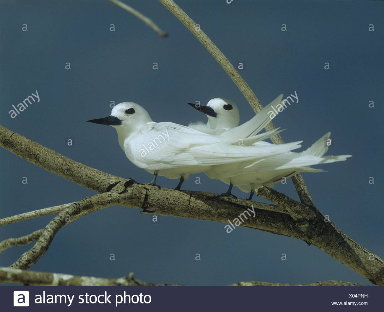 Forks, fairy terns, Gygis alb, birds, animals, terns, deliberate dives, the Seychelles, plumage, white, branches, sit, - Stock Image