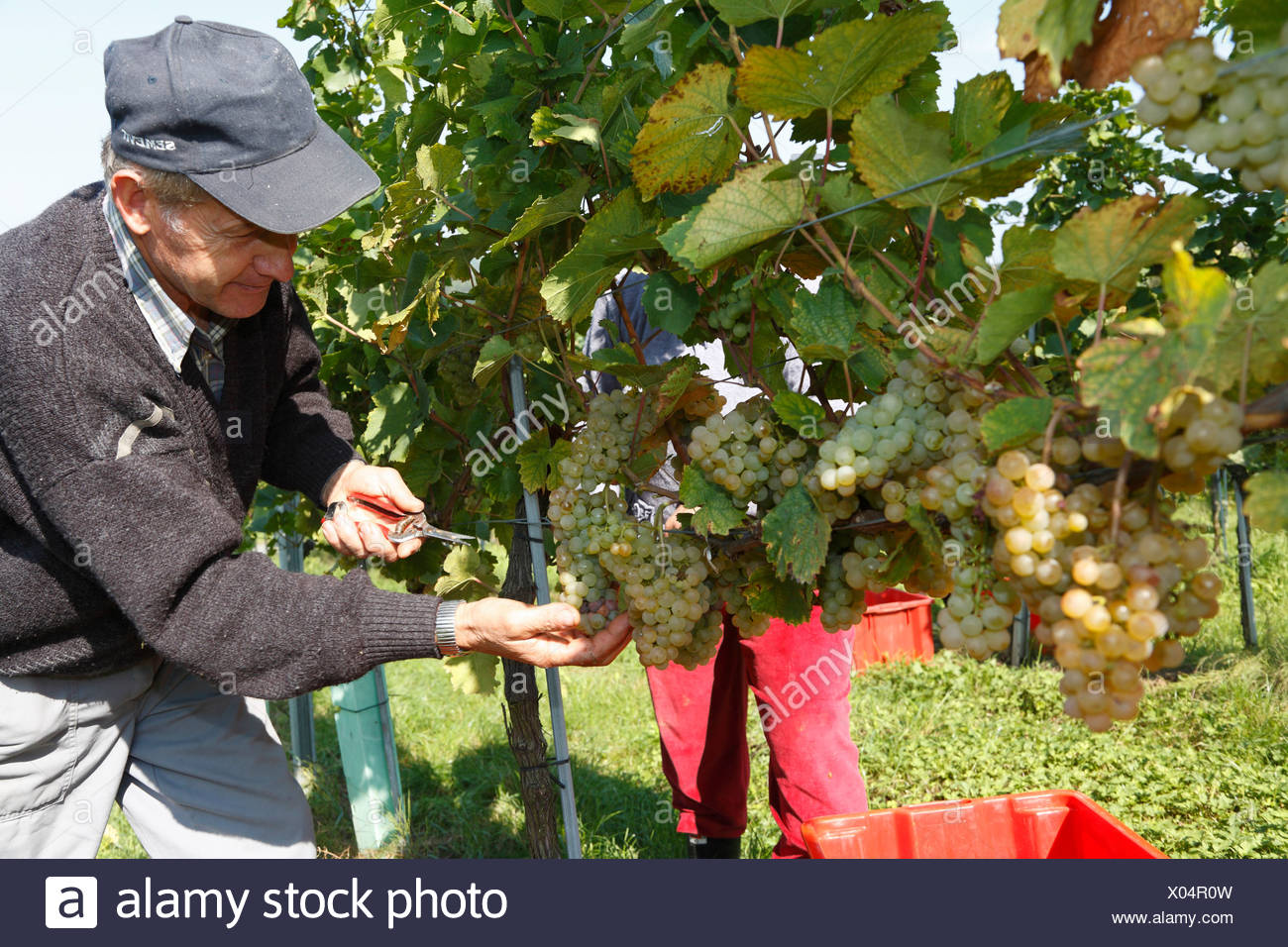 Man harvesting grapes in Langegg, Southern Styria, Austria, Europe - Stock Image