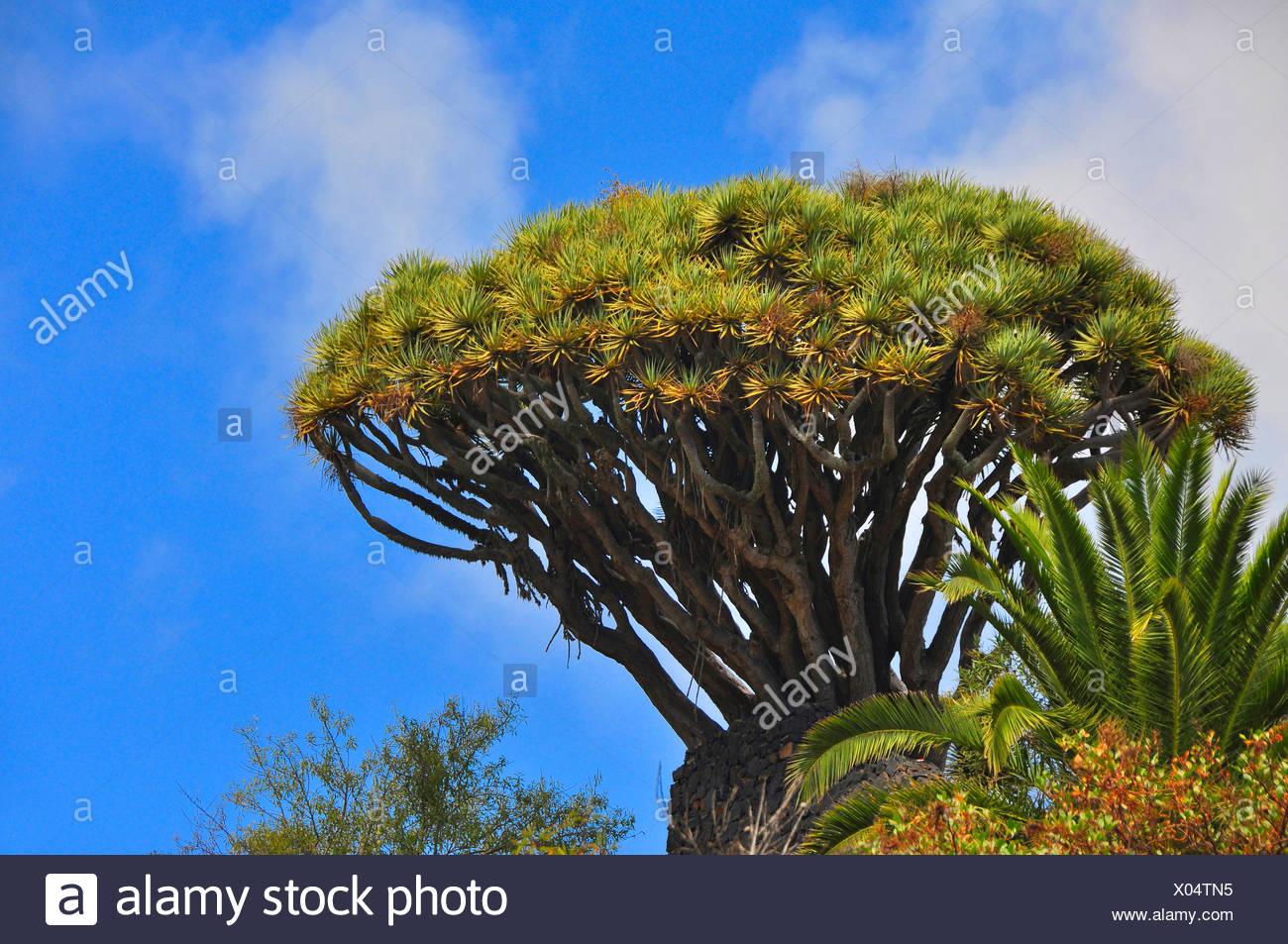 Tear Dragon's blood, Draegon Tree, Canary Islands Dragon Tree, Drago  (Dracaena draco), tree crown, Canary Islands, La Palma - Stock Image