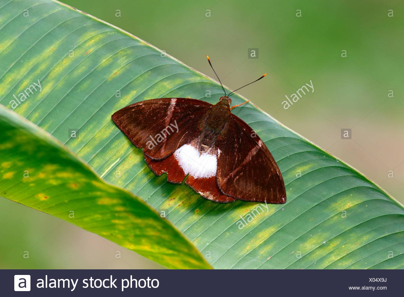 A Giant Butterfly-moth, Castniomera atymnius, basking on a leaf. - Stock Image