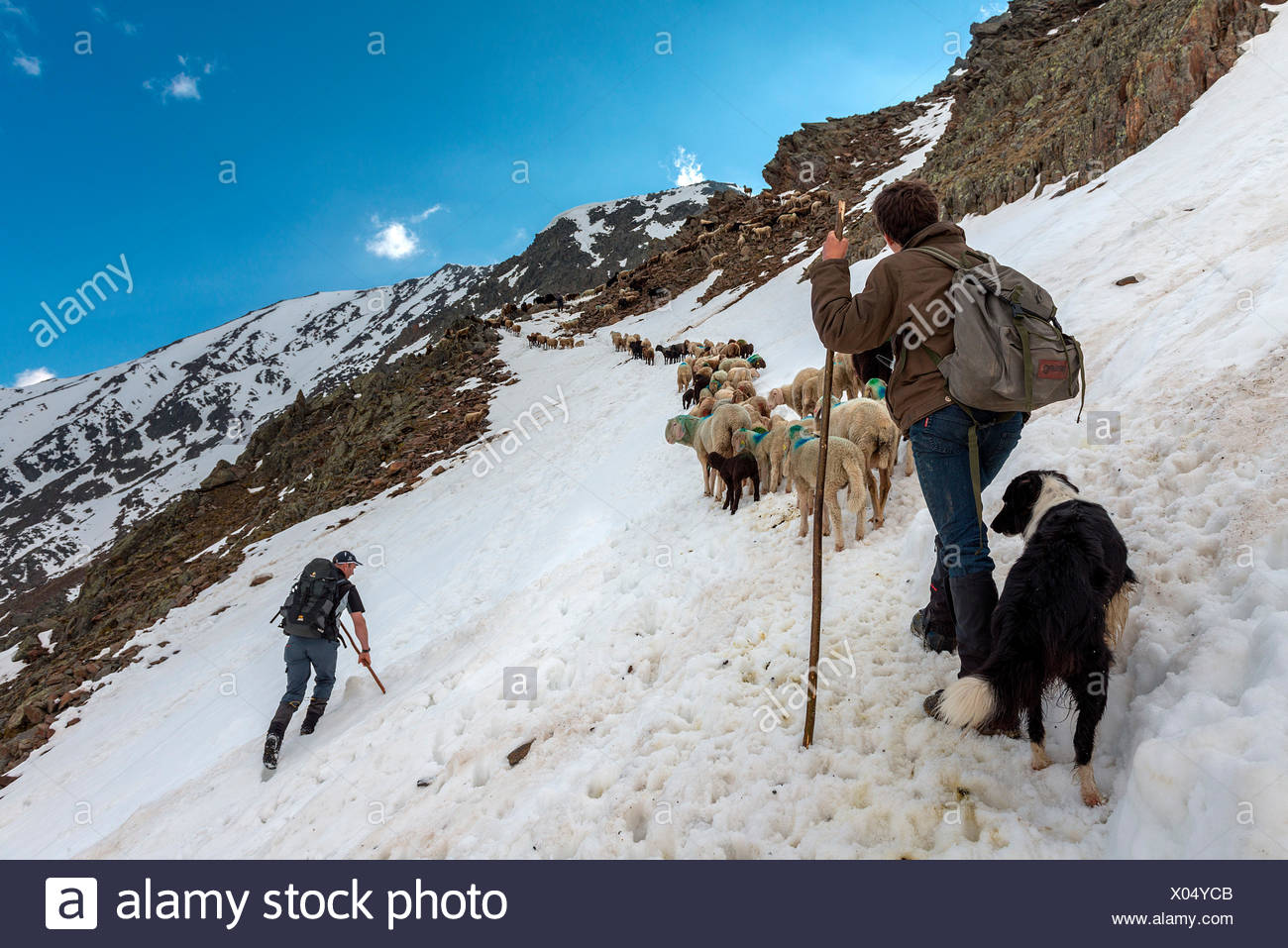 Senales/Schnals, South Tyrol, Italy. Since thousands of years the shepherd brings the sheep on the Giogo Basso (3016m) and to the summer pastures behind the Oetz Valley Stock Photo