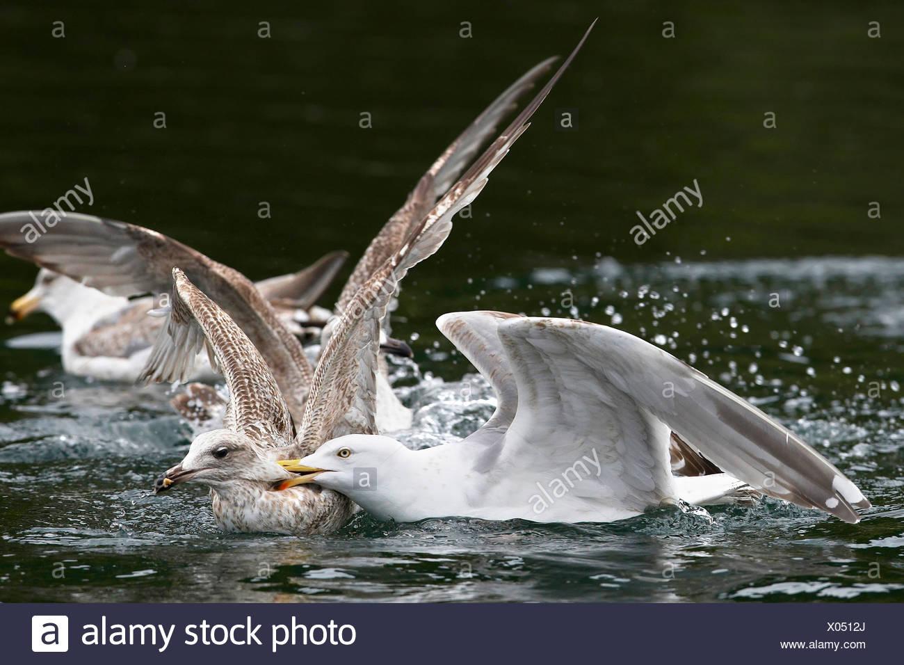 herring gull (Larus argentatus), two young birds fighting, Norway, Trondelag, Flatanger, Lauvsnes Stock Photo