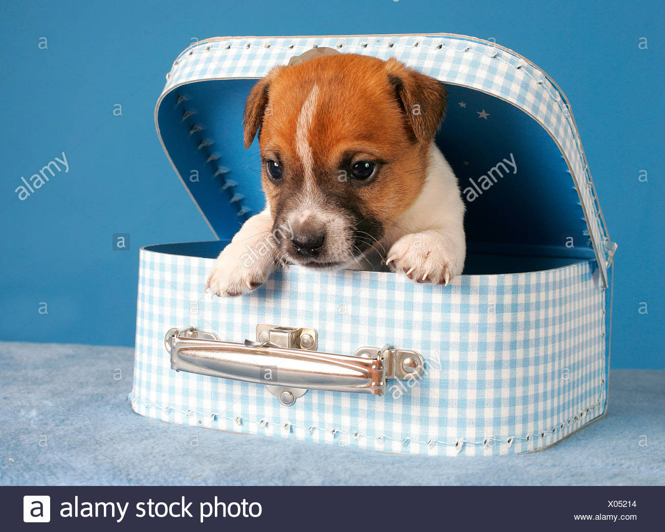 Jack Russell Terrier Canis Lupus Stock Photos & Jack Russell Terrier ...