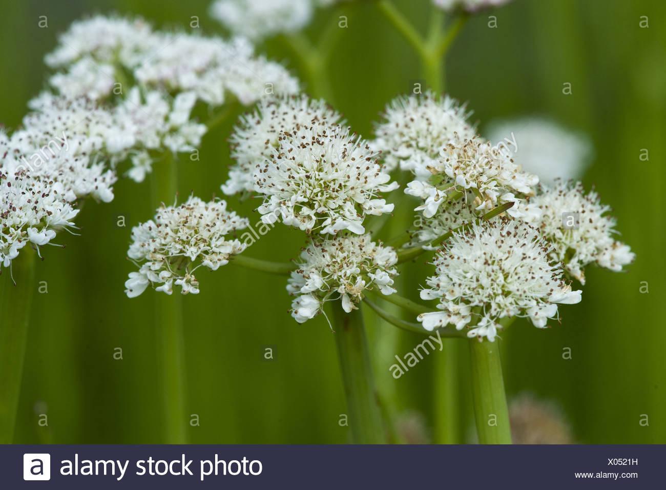 tubular water dropwort, oenanthe fistulosa - Stock Image
