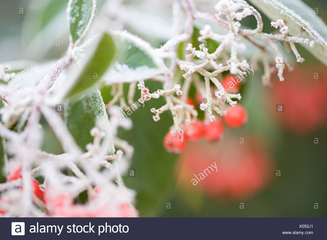Frost covered berries Stock Photo