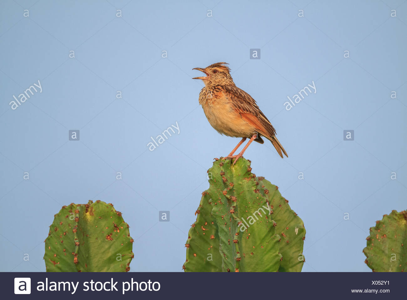 A rufous-naped lark, Mirafra africana, perching on a succulent plant. Stock Photo