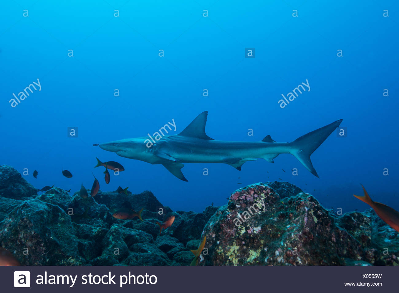 Rare sighting of a sick Blacktip Shark (Carcharhinus limbatus), San Benedicto, Colima, Mexico Stock Photo