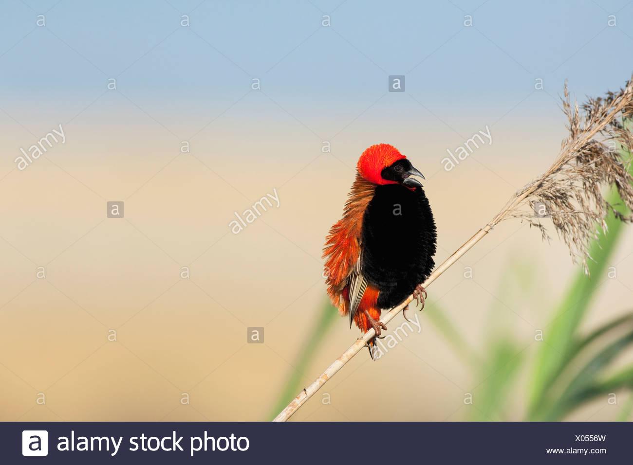 Red Bishop (Euplectes orix) male portrait, Gauteng Province, South Africa - Stock Image