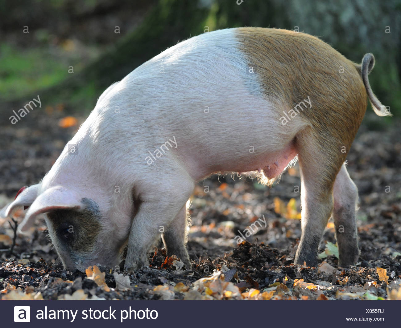 A pig in The New Forest hunting for acorns and digging with his nose. - Stock Image