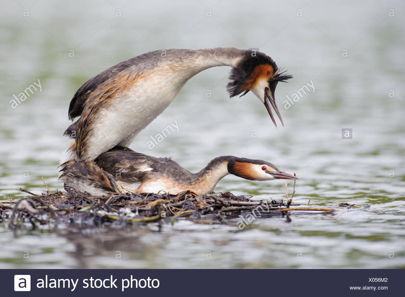 Great Crested Grebes, pair, Lower Saxony, Germany / (Podiceps cristatus)Haubentaucher, Paar, kopulierend, Niedersachsen, Deutschland / (Podiceps cristatus) - Stock Image