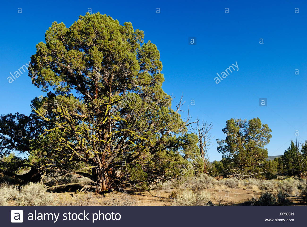 1000 Jahre alter Wacholder Baum, Western Juniper in den Lavafeldern des Ancient Juniper Trail, Badlands Wilderness Area, Oregon - Stock Image
