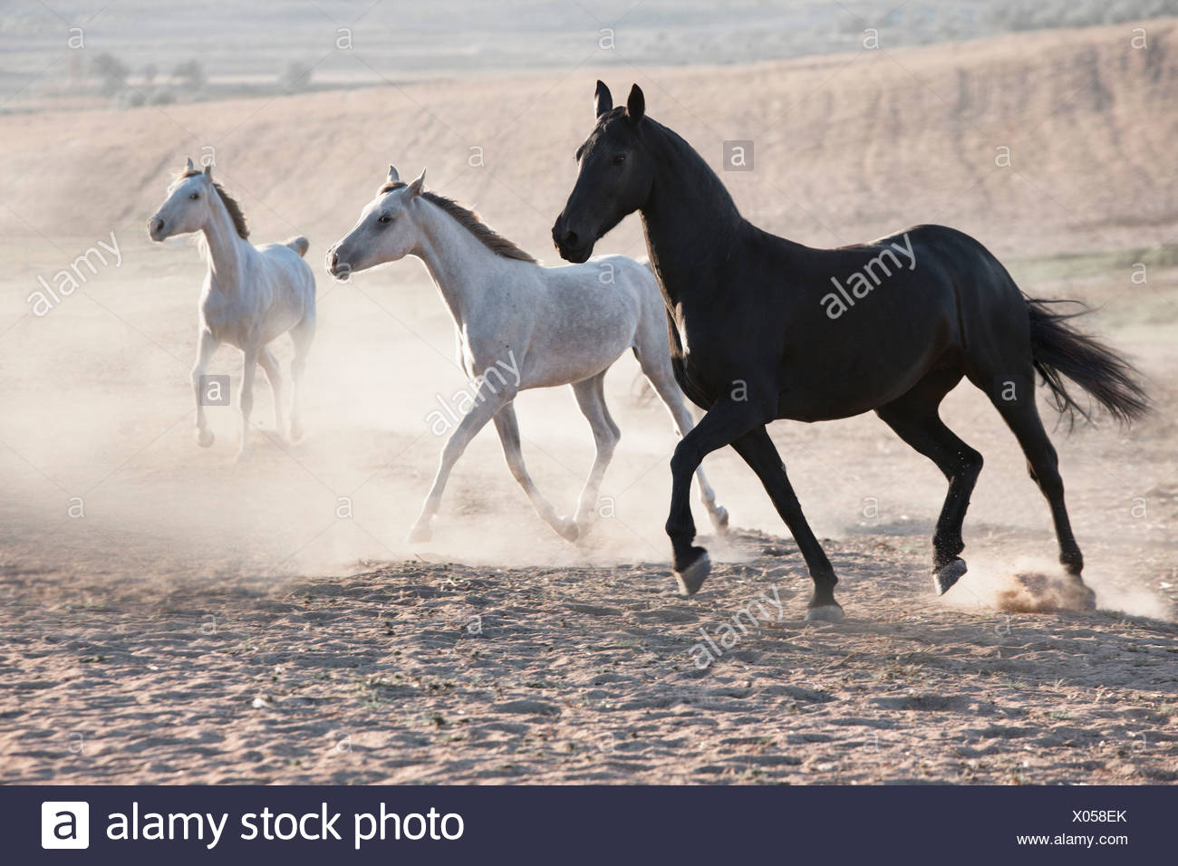 Horses running in dusty pen - Stock Image