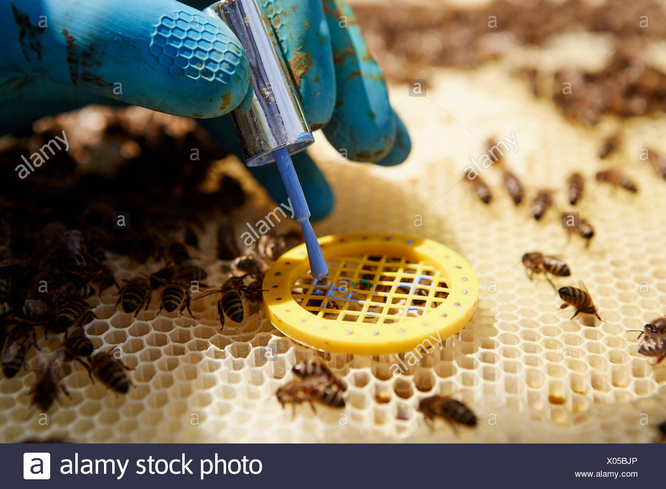 A beekeeper placing a queen cage on a super in a beehive. - Stock Image