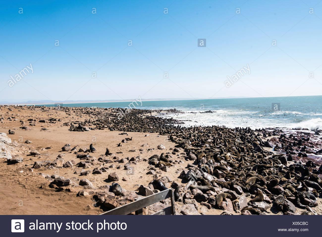 Colony of Brown Fur Seals or Cape Fur Seals (Arctocephalus pusillus), Dorob National Park, Cape Cross, Namibia - Stock Image