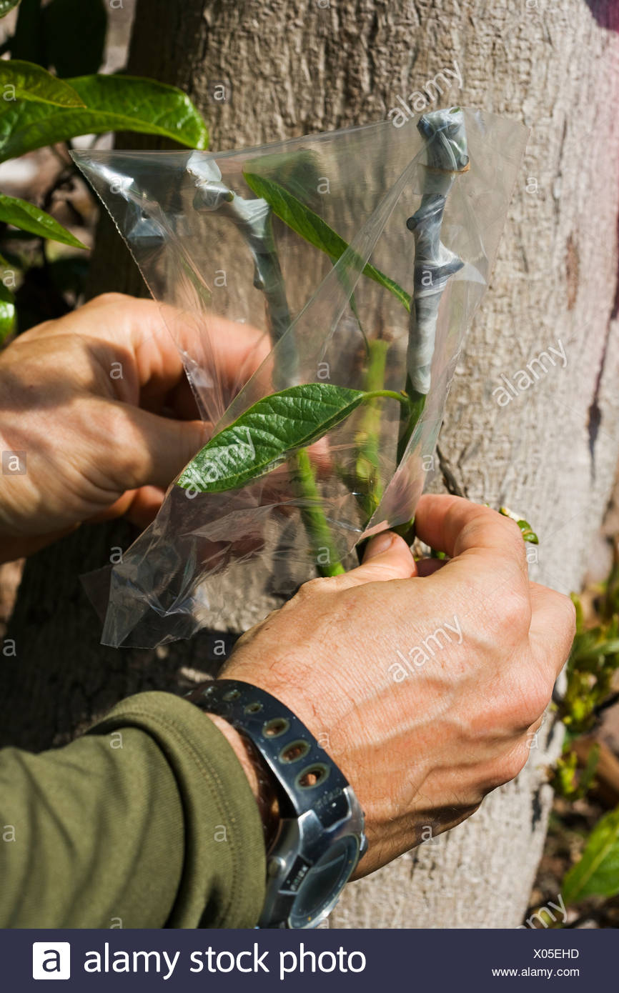 A field technician grafts multiple hybrid cultivars to a large avocado tree stump whose original nursery graft failed / Hawaii. - Stock Image